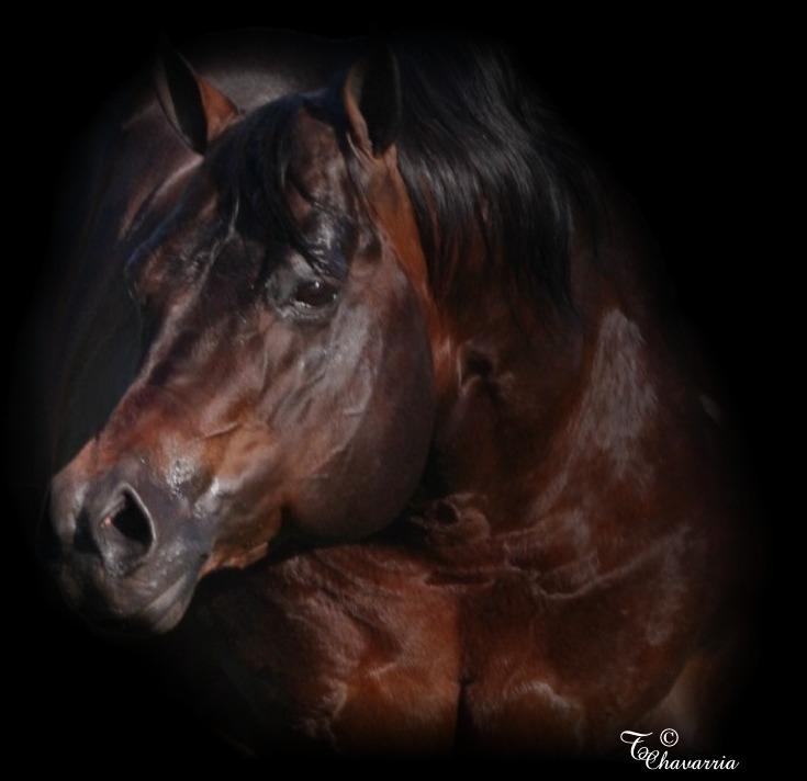 A bunch of Cicle Bar Ranch`s Quarter Horses. Sir_cool_skip_head_1_06