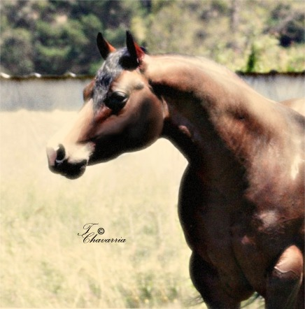 A bunch of Cicle Bar Ranch`s Quarter Horses. Joey_final_headweb