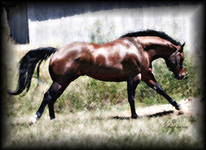 A bunch of Cicle Bar Ranch`s Quarter Horses. Joeyrun1web02