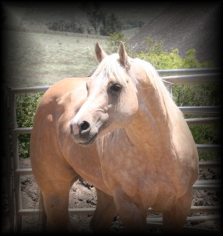 A bunch of Cicle Bar Ranch`s Quarter Horses. Mr_colton_2