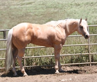 A bunch of Cicle Bar Ranch`s Quarter Horses. Mr_colton_3