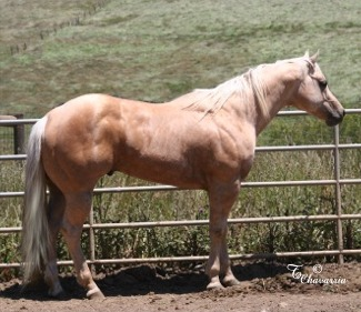 A bunch of Cicle Bar Ranch`s Quarter Horses. Mr_colton_4