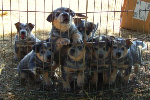 2010 fall blue heeler pups for sale pictures