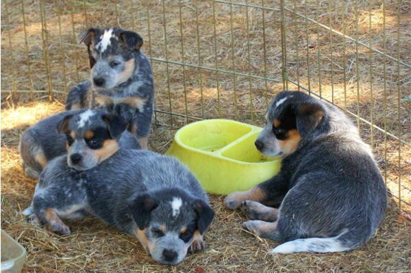 Blue Heelers For Sale : Blue heeler puppies for sale blue heeler dog breeders bertonqh.com
