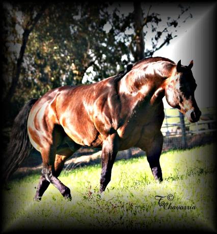 A bunch of Cicle Bar Ranch`s Quarter Horses. Skipforwb